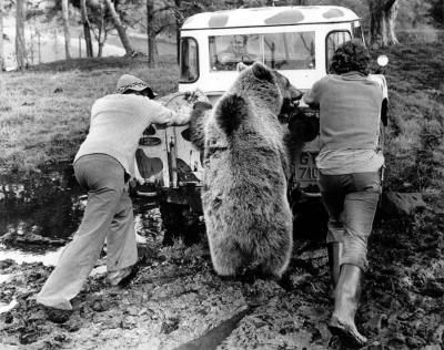 Bear helping to push a van