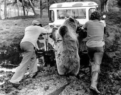 Bear helping to push a van