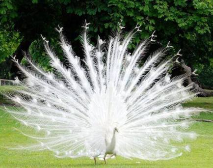 Monsieur Henri Le Blanc à Plumes, Interior Decorator-- A White Peacock