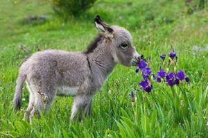 Burro Foal Sniffing a Flower