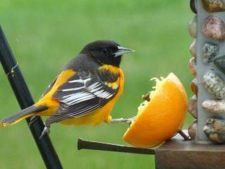 Baltimore Oriole at an Orange Feeder