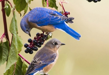Eastern Bluebirds, male & female (below)- State Bird of Missouri