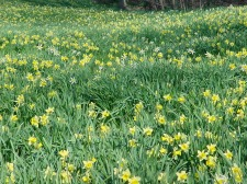 Field of Daffodils, Union County, Arkansas