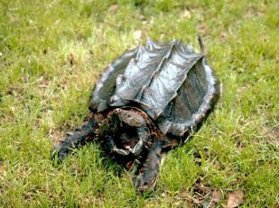 Alligator Snapping Turtle with Spiky Shell and Open Mouth