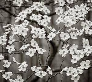 White Flowering Dogwood Tree in Spring Bloom