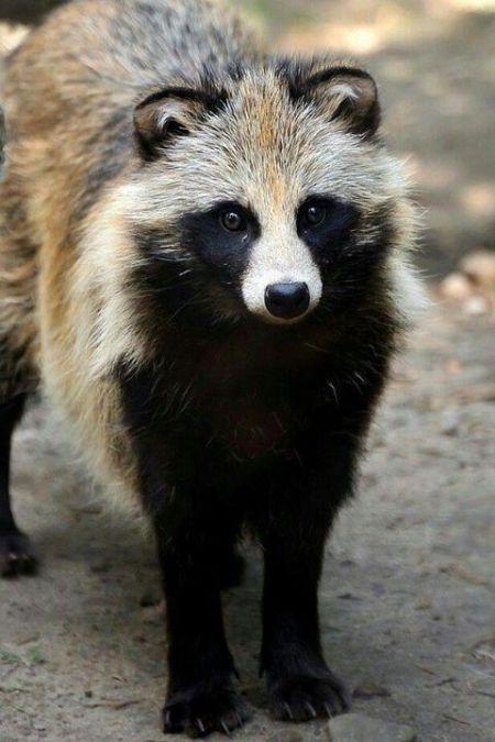 Asian Raccoon Dog