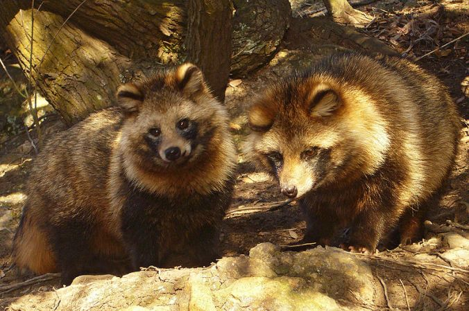 Asian Raccoon Dogs Pair
