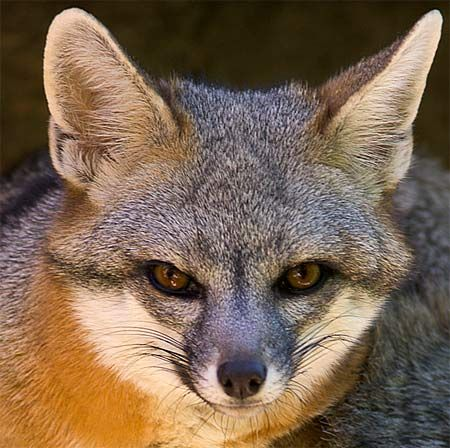 Gray Fox Face