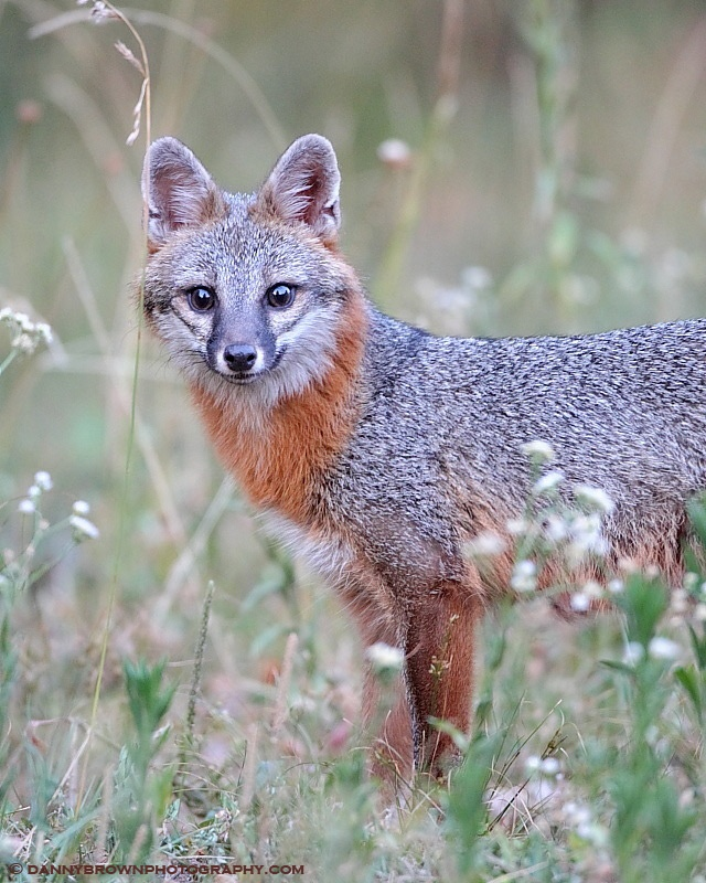 "Gray Fox- ""Foxy Mama!""- Photo courtesy of Danny Brown"