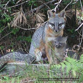 Gray Fox Mother and Kit