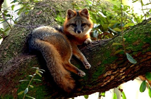 Gray Fox Resting On A Tree Limb