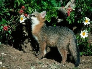 Gray Fox Enjoying The Flower Garden