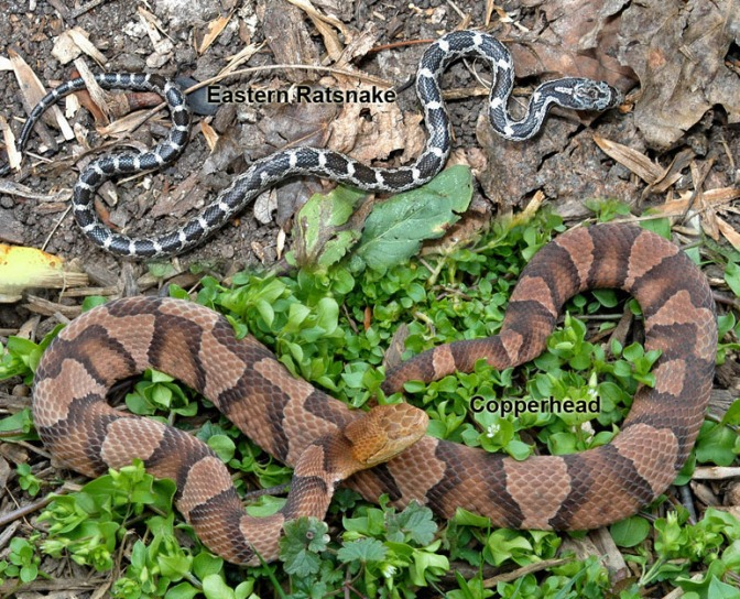Easily Confused- Copperhead (below) vs Eastern Rat Snake (above)
