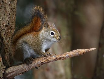 American Red Squirrel On a Branch