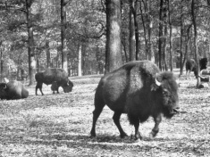 Buffalo (Bison) Vintage Photo at Grant's Farm in St. Louis, Missouri