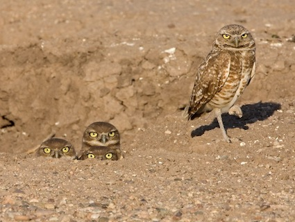 Burrowing Owls via Cornell Lab of Ornithology  (© Ned Harris, AZ, Tucson, June 2009)