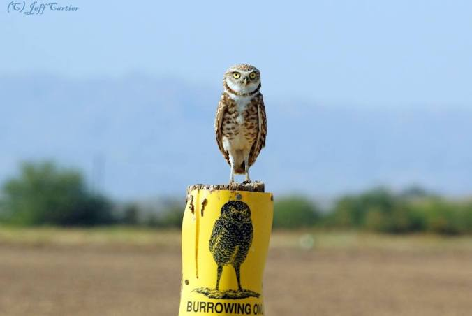 Burrowing Owl in California on top of Burrowing Owl Sign Post (by Jeff Cartier of Ventura, CA)