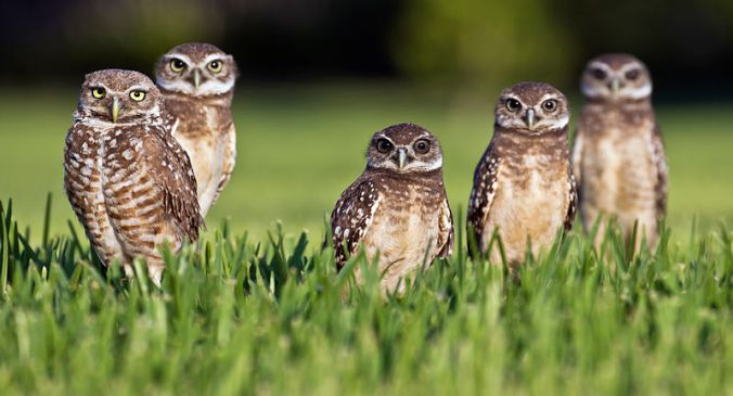 Burrowing Owls Group, Southern Variety
