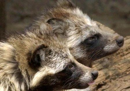 Raccoon Dogs, Photo: Chiaki Tsukumo, AP