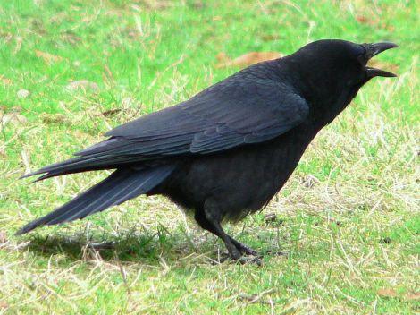 American Crow (Corvus brachyrhynchos) - Calling