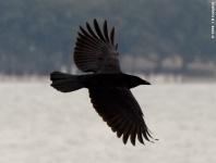 American Crow (Corvus brachyrhynchos) - Flying