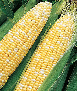 Bi-Color Corn, Yellow and White