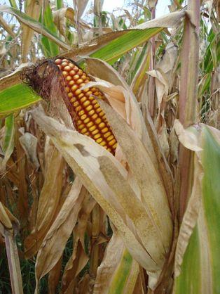 Feed Corn in the Field