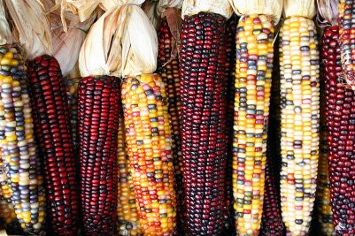 Indian Corn, also known as Flint Corn