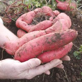 Sweet Potatoes (Yams) Fresh From the Field