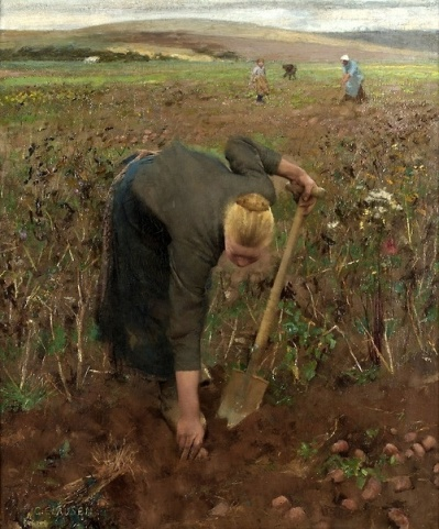 Digging Sweet Potatoes in the Field