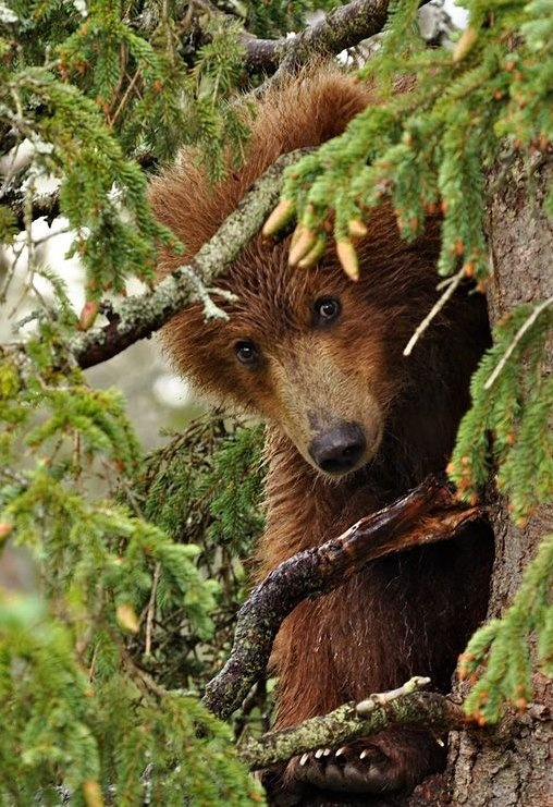"""Little Red Bear""-- Story Research in a Tree"