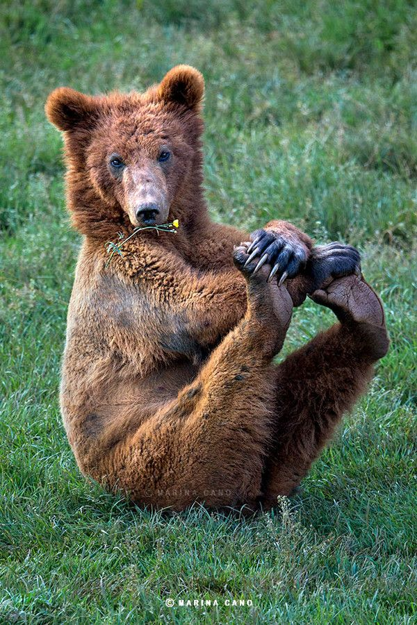 """Little Red Bear""-- Pleased as Punch!  (Photo credit- by Wildlife Photographer Marina Cano)"