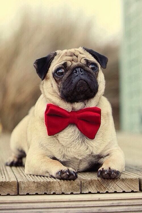 Pug Dressed For Christmas with a Red Bow Tie