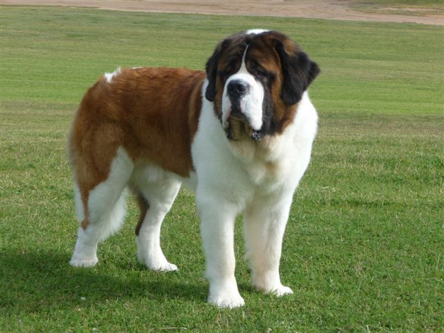 St. Bernard in a Field