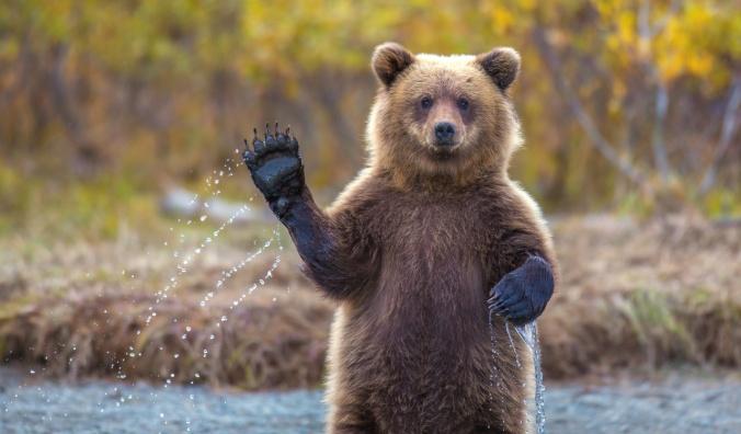 Waving Bear (image found on Talking Bear, Facebook Community Page)