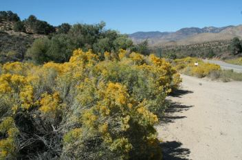 Rabbitbrush, California Farm- October, 2013. (Photo by Kathleen Creighton Fuchs)