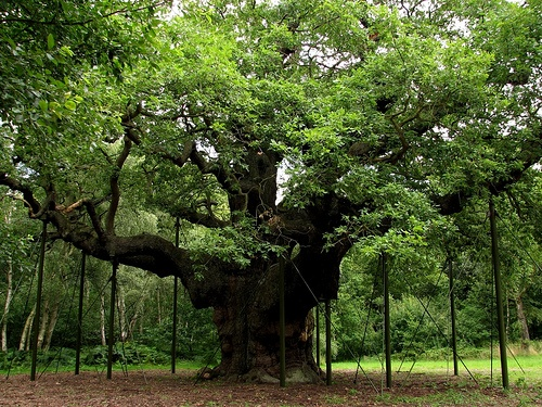 Major Oak-- 1000 Year Old Major Oak Tree in Sherwood Forest, Nottinghamshire. by VJLF on  Flickr