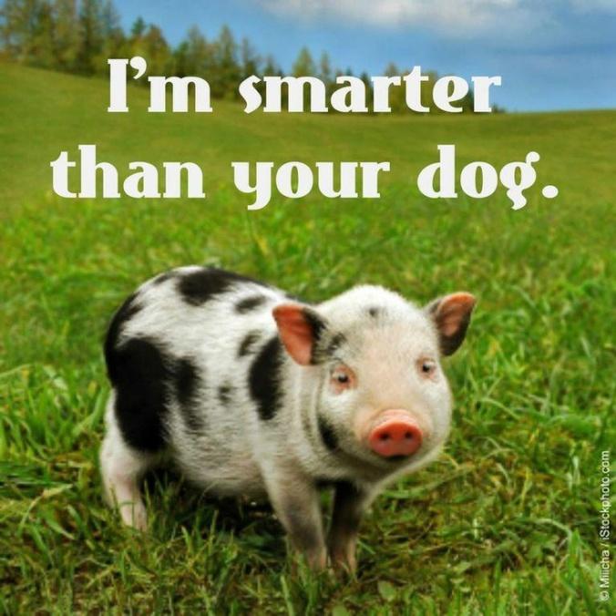 Animals- Pig Smart