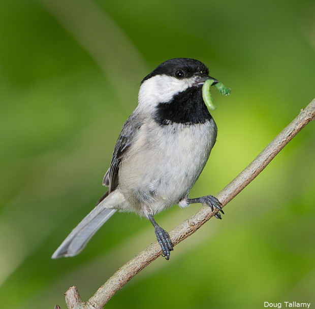 Birds- Chickadee, Carolina Chickadee via National Wildlife Federation FB, photo by Doug Tallamy