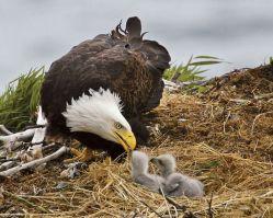 Birds- Eagle- Nesting Eagle with Baby 2