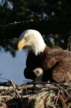 Birds- Eagle- Nesting Eagle with Baby