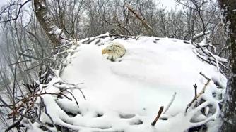Nesting Bald Eagle in Snow- Codorus State Park in Pennsylvania, 2015