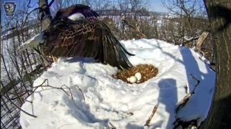 Nesting Bald Eagle with Eggs in Snow- Codorus State Park in Pennsylvania, 2015