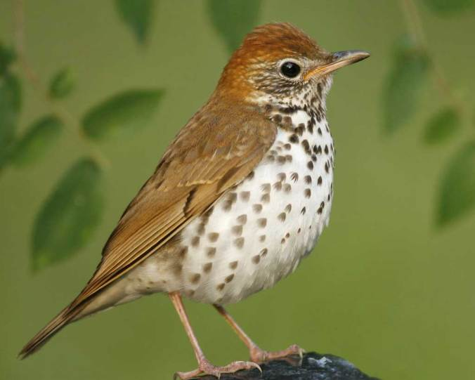 Wood Thrush- via National Audubon Society, by Brian E. Small/VIREO