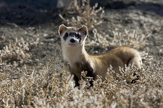 Black-footed Ferret in a Colorado conservation center. Photo by U.S. Fish and Wildlife Service.