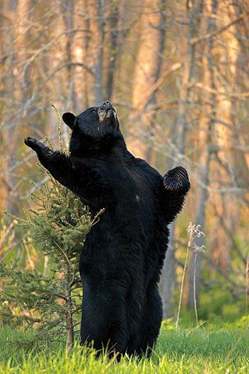 Bear- Shakesbear 3 without verse