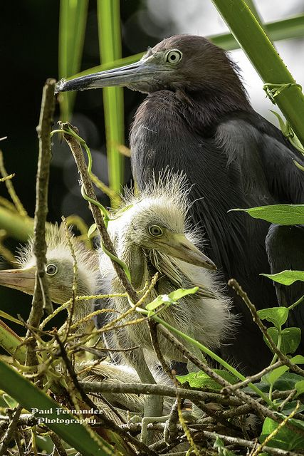 Birds- Little Blue Heron Family at Lowry Park, Pinterest, not photo signature