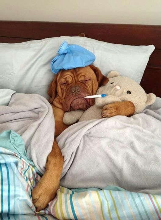 Dog - Sick as a Dog, In Bed-- Pinterest uncredited