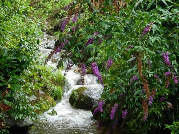 Ozarks- Wild lilacs by stream. Barbara Woodall.