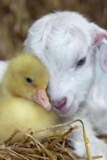 Animals- Duckling and Sheep 2